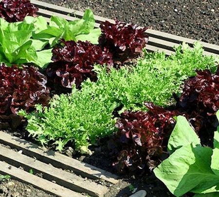 выращивание салата