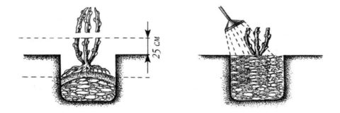 Схема посадки саженцев