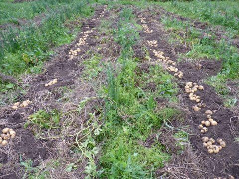 Сидеральные посадки в междурядьях картофеля