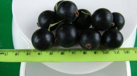 Смородина хорошо отзывается на полив и подкормку, давая более крупные ягоды и обильный урожай