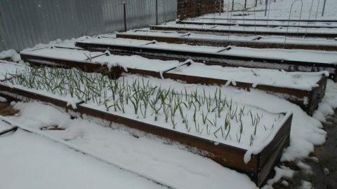 Снег станет теплым покрывалом для молодых растений