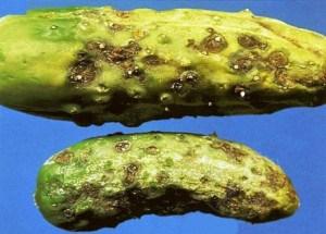 Плоды огурца, пораженные оливковой пятнистостью