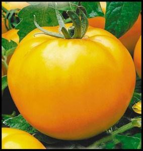 сорта томатов для парника