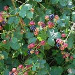 Созревание ягод растянуто по времени