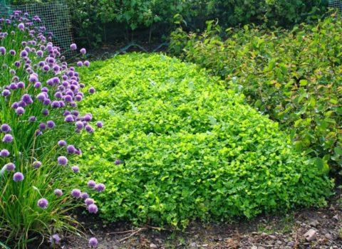 Сплошной зеленый ковер не дает шанса сорнякам на прорастание