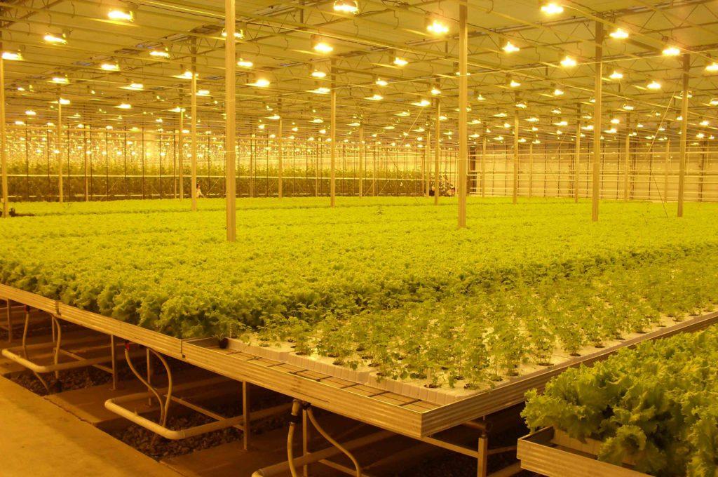 Стеллажи для выращивания фруктов и овощей в теплице, могут быть в виде больших и длинных столов