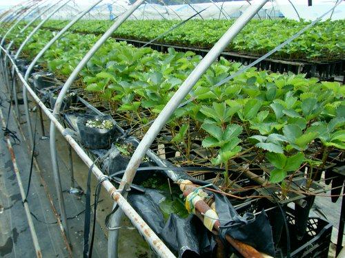 выращивание клубники на гидропонике