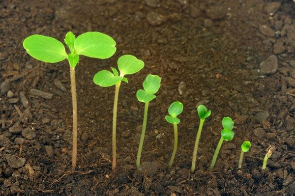 Рост рассады петунии