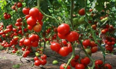 Тепличные томаты