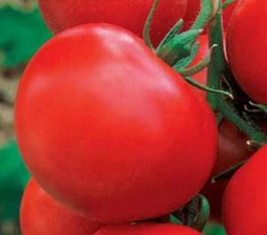 томаты для теплиц низкорослые