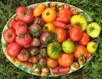 томаты низкорослые для теплиц