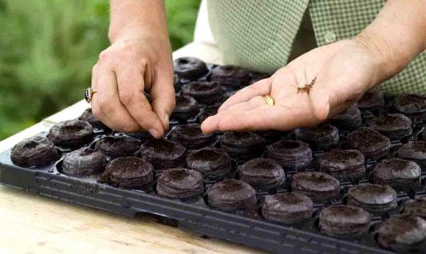 Сев семян в торфяные таблетки