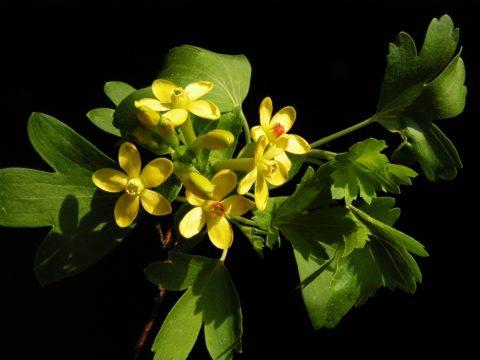 Цветение смородины золотистой