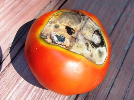 гниль томатов