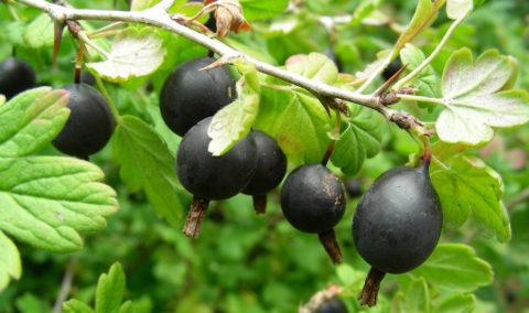 У йошты другая форма листьев и более крупные ягоды с матовым налетом