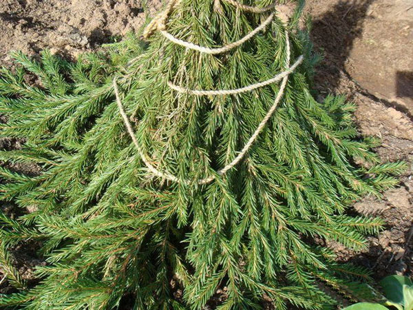 Обвязка молодого дерева