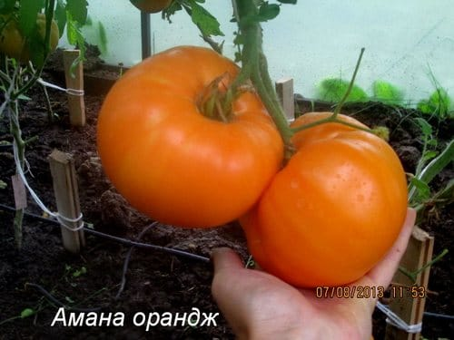 """Cорт """"Амана Оранж"""""""
