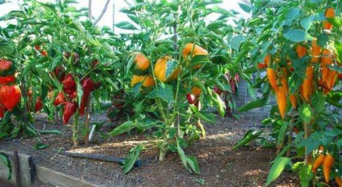 Обильный урожай перца