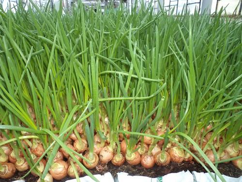 Высадка зеленого лука
