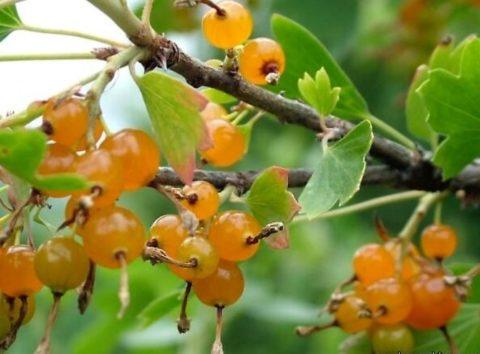 В конце лета, когда другие ягоды отойдут, вы сможете лакомиться золотистой смородиной