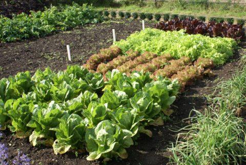 В зависимости от сорта растение может иметь листья разного цвета и формы