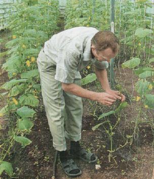 Важным профилактическим мероприятием является регулярный осмотр кустов на предмет появления больных и пожелтевших листьев и их удаление