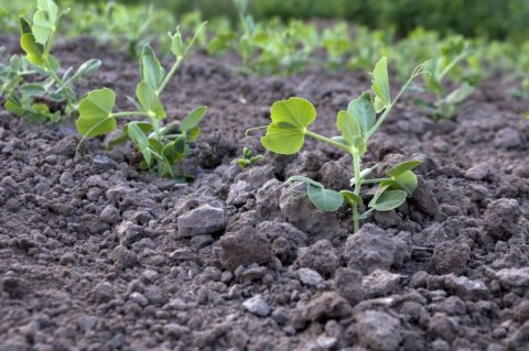 Все бобовые сидеральные культуры хорошо насыщают землю азотом