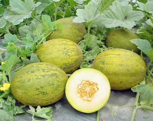 Выращивание арбуза в парнике: советы огородникам