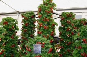 выращивание клубники в теплицах зимой