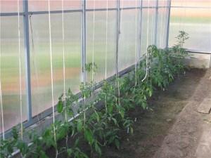 выращивание помидоров зимой в теплице
