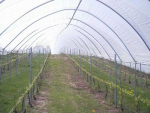 Выращивание винограда в теплице в промышленных масштабах – очень выгодный бизнес