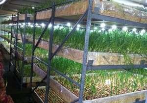 Выращивание зелени на стеллажах