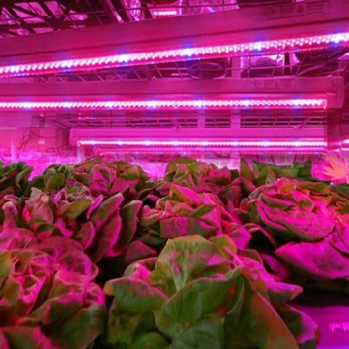 LED лампы эффективно размещать сразу над растениями
