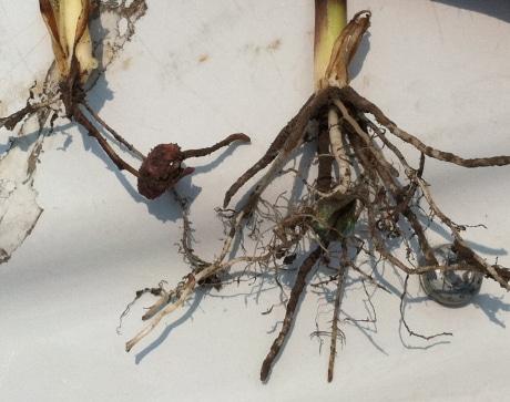 повреждение корней