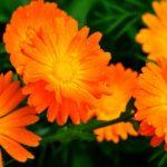 Яркие цветы календулы