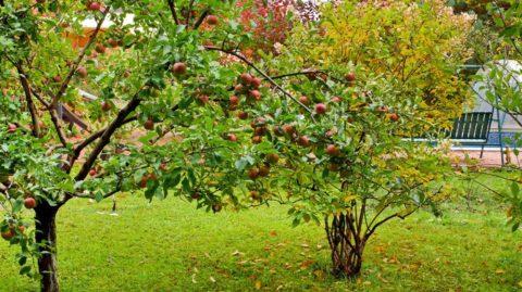 Задернение – лучший способ защитить землю в саду с плодовыми деревьями