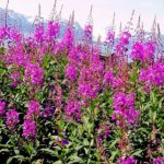Заготавливают кипрей в период цветения