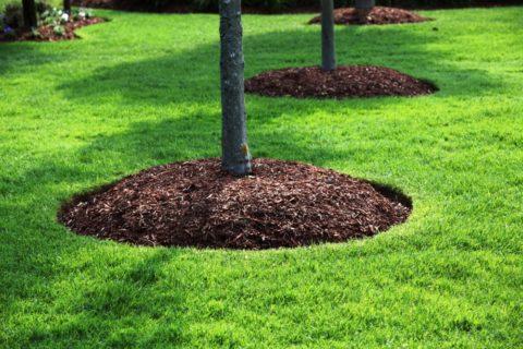 Замульчированный корой приствольный круг дерева выглядит очень естественно