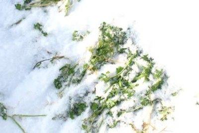 Зелень не теряет полезных свойств и не вянет даже под снегом