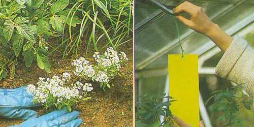 Зонтичные растения и ловушки